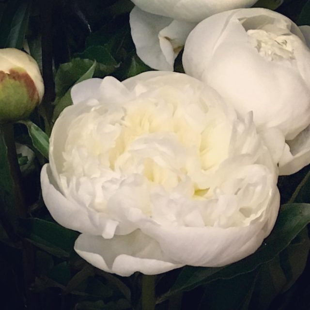 White peony making an appearance for this weeks wedding hellip